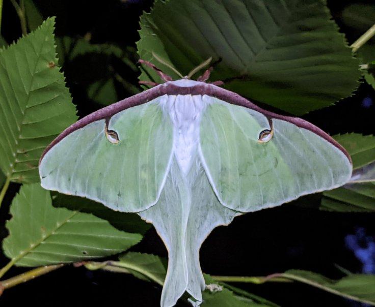 Luna Moth on underside of leaf