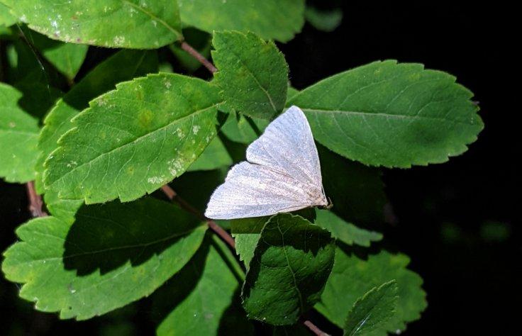 White moth on leaf