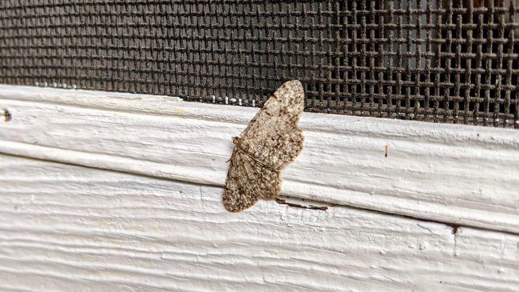 Porcelain Gray Moth