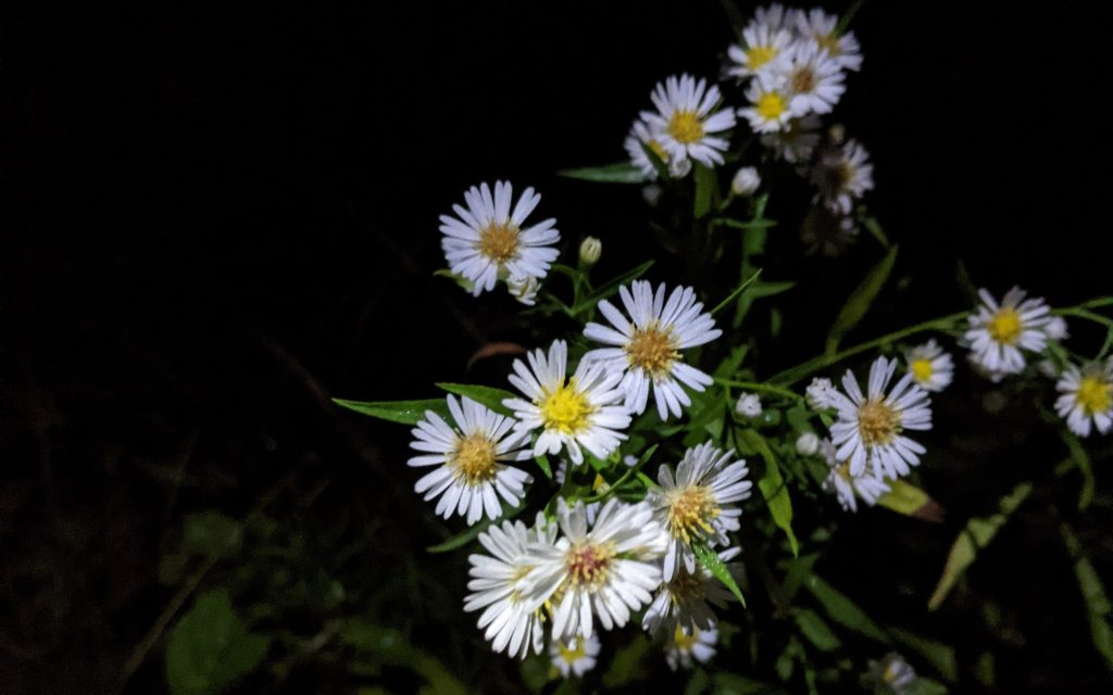 White Asters in the Dark