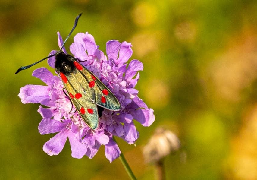 The six-spot burnet moth Photo Cridt: Graham Parkinson