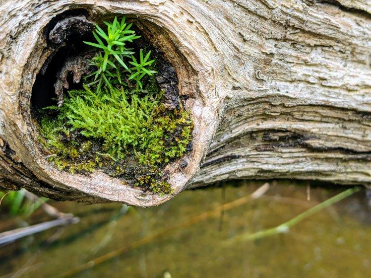 fallen log with moss
