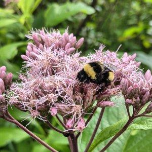 Bee on Joe Pye Weed