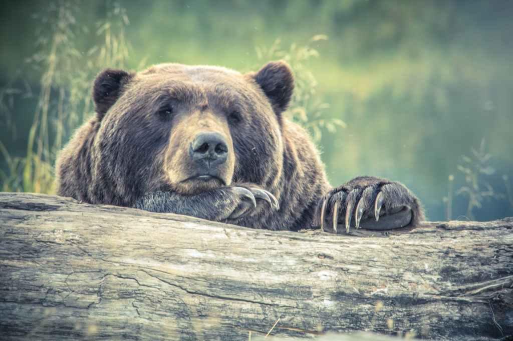 Bear resting on log