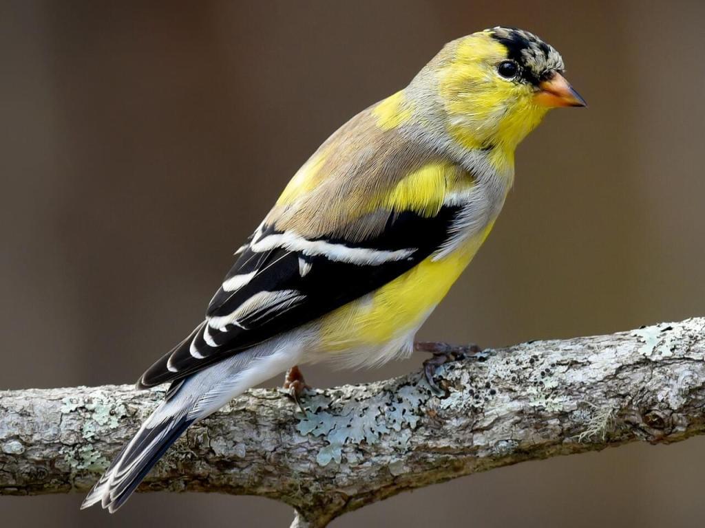 Molting Male Goldfinch, Photo Credit Scott Martin, Macaulay Library